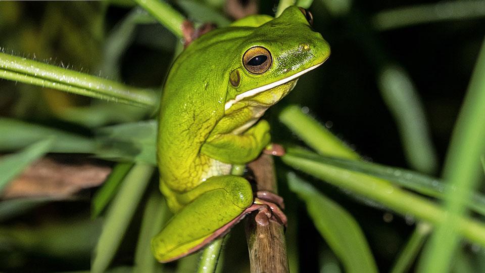 White-lipped tree frog - Cairns, David Clode, unsplash.com