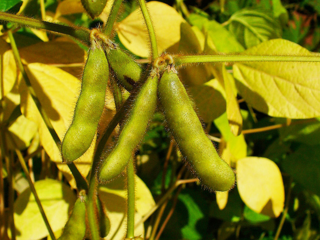 You may recognise it as edamame, but it's also known Glycine max, the ubiquitous soybean (Photo by H. Zell, via Wikimedia Commons)