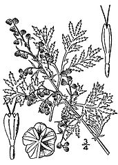 Artemisia annua is the source of a new teratment for malaria which is the basis of this year's Nobel Prize for medicine