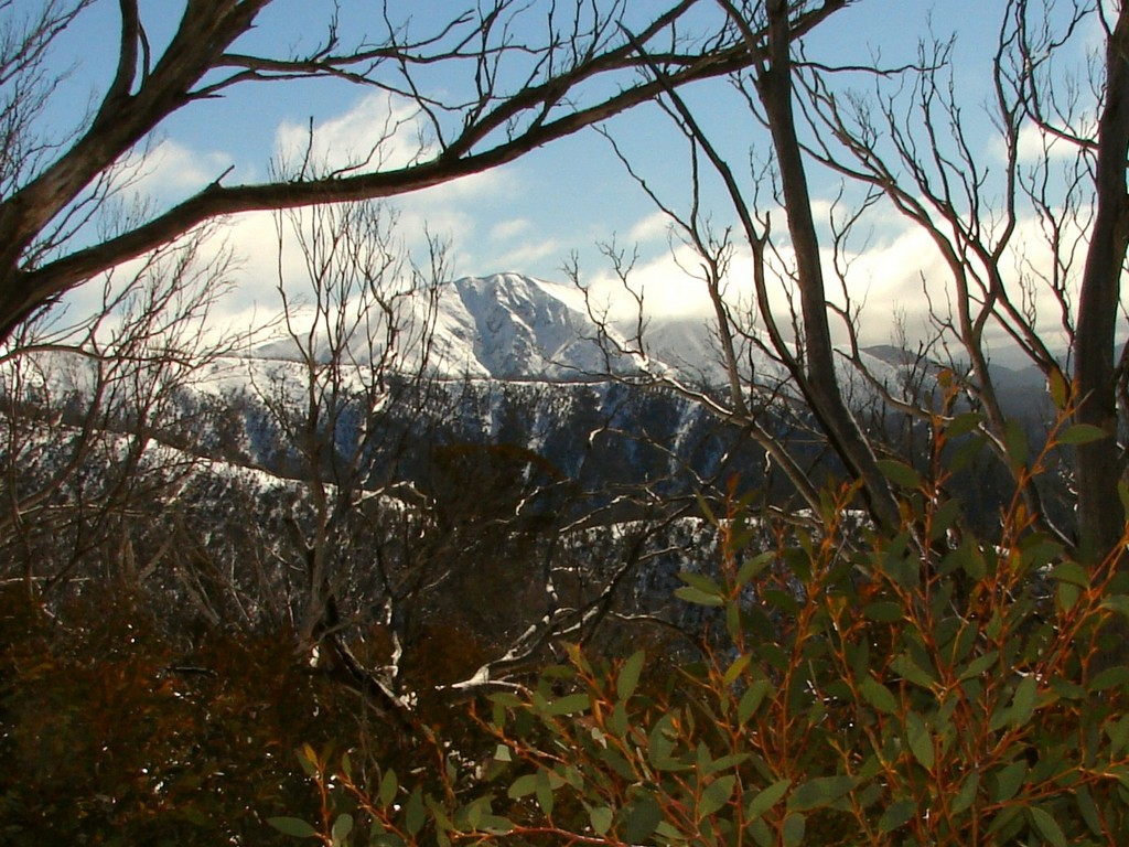 Fire-damaged snow gums at Mt Feathertop, Victoria (Photo by Tatters, via Flickr)