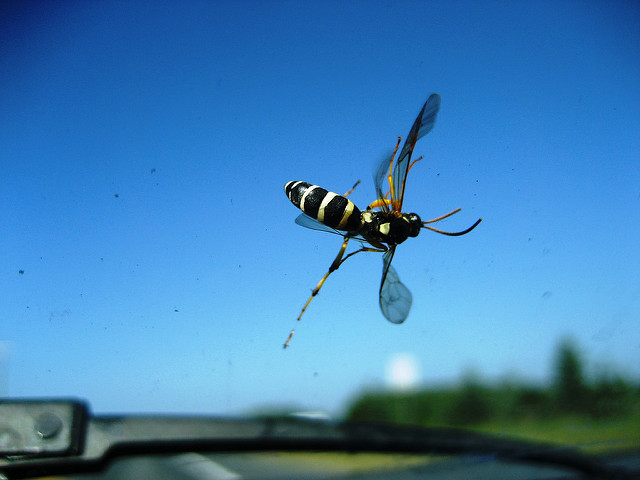 Windscreen wasp seen from inside a car (Photo by Leogirly4life, via Flickr)