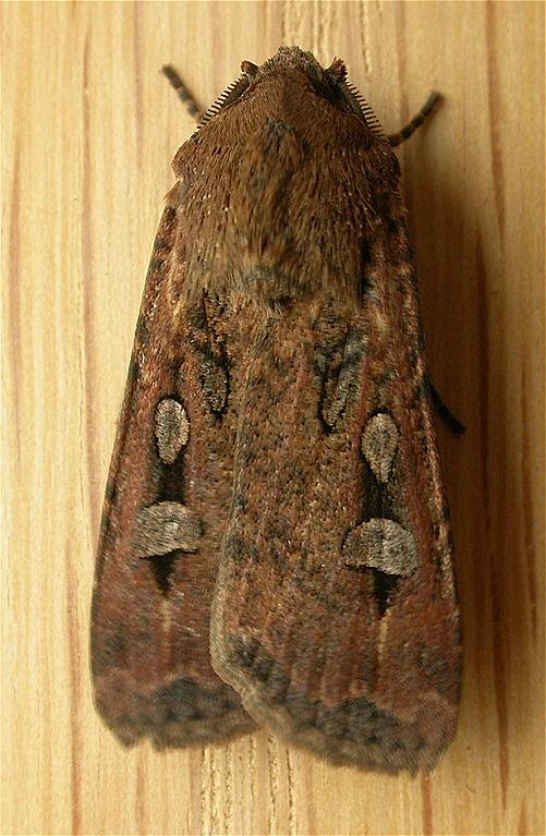 Agrotis infus, the Bogong Moth