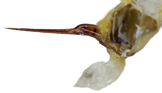 Stinger from a honey bee, Apis mellifera (Photo by Siga, via Wikimedia Commons)