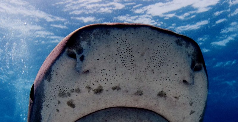 Tiger shark snout showing the pores of its ampullae of Lorenzini, for detecting electric fields (photo by Albert kok, via Wikimedia Commons)