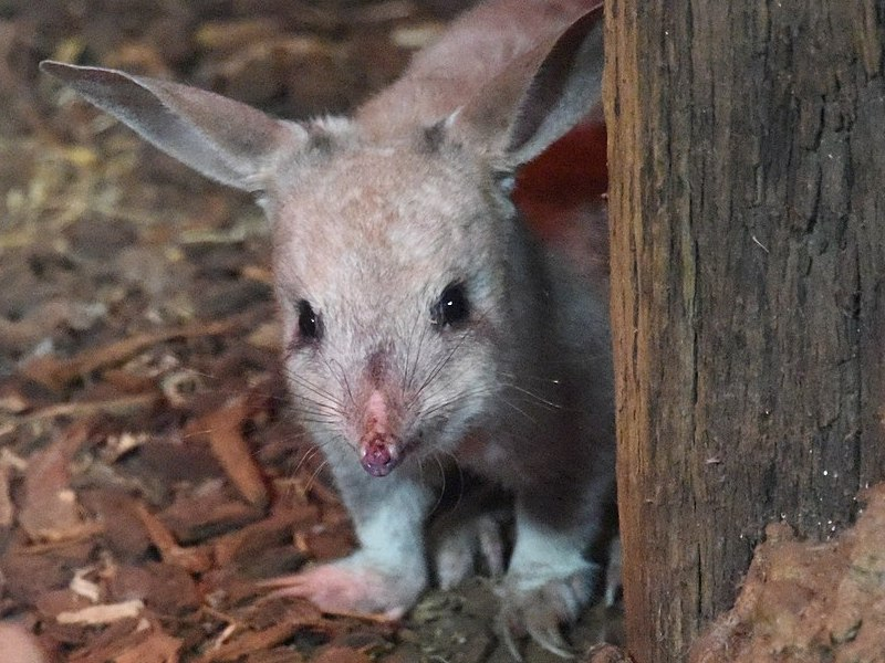 Have you seen how cute bilbies are? I mean, have you? (Photo by Sardaka, via Wikimedia Commons)