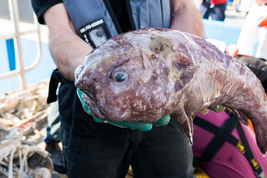 Blob fish on the deck of the Investigator (photo Rob Zugaro)