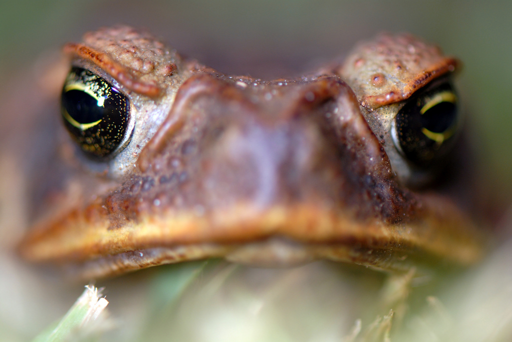 Look into the eyes of the toad—the cane toad, Bufo marinus (Photo by Sam Fraser-Smith, via Wikimedia Commons)