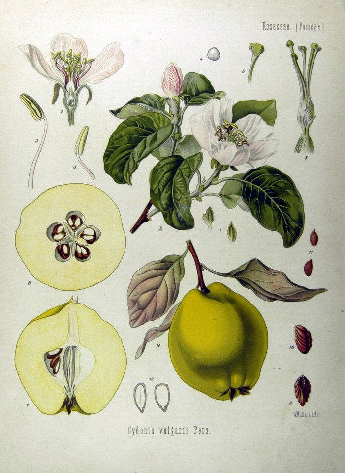 The humble Quince