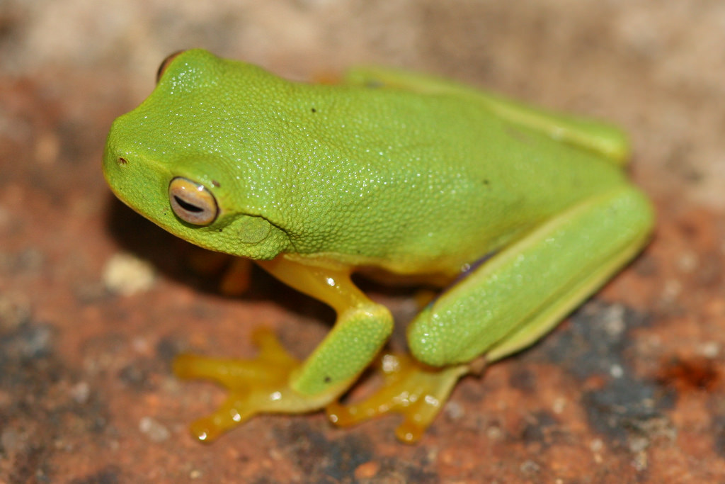 The graceful tree frog
