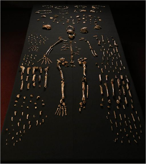 Homo naledi skeleton fragments