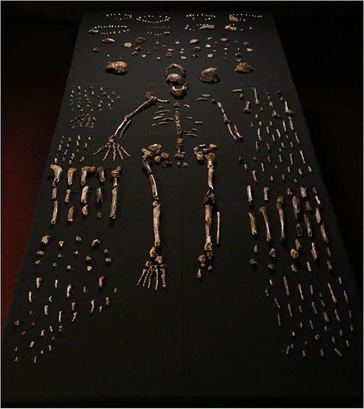 Homo naledi skeleton fragments
