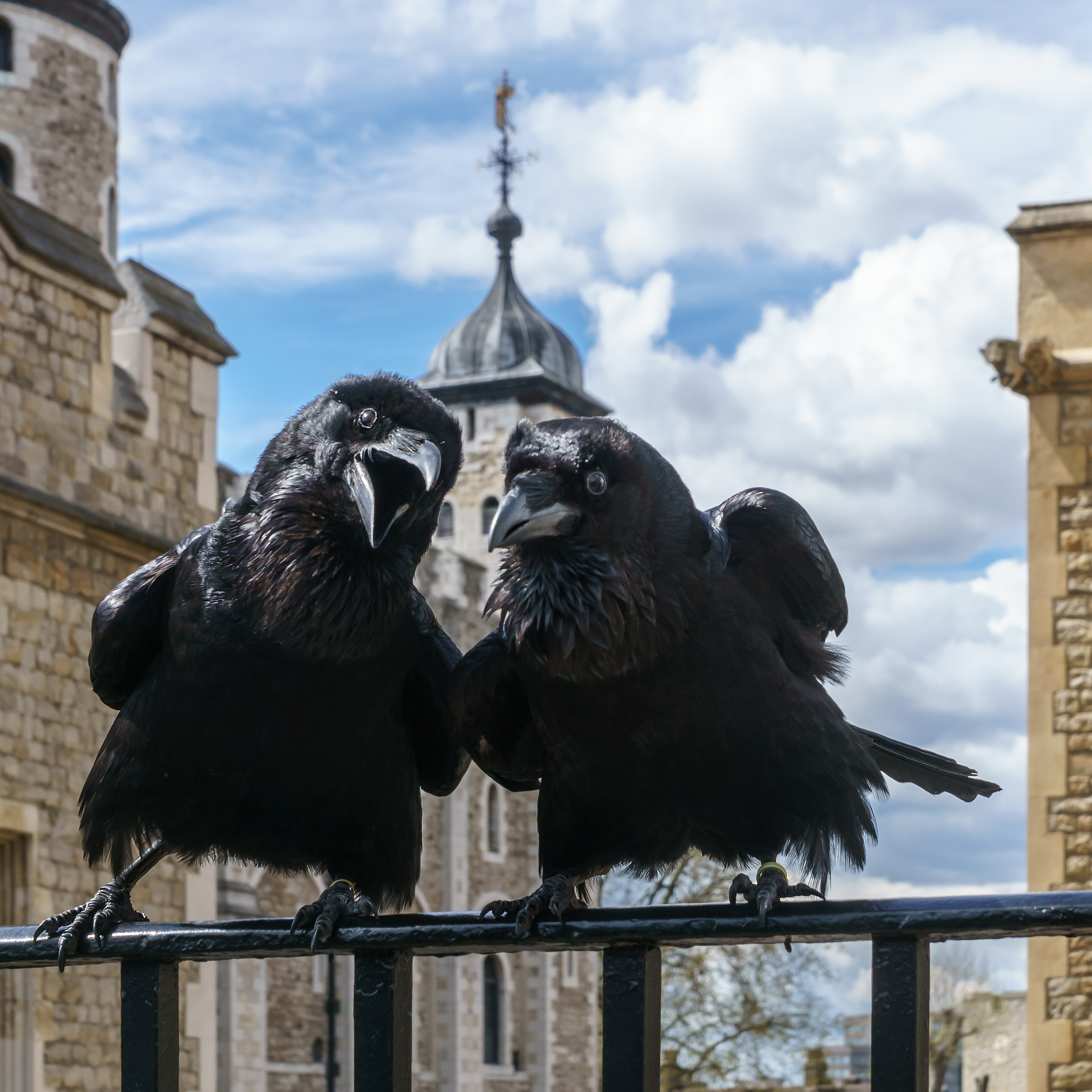 Ravens are smarter than we thought.