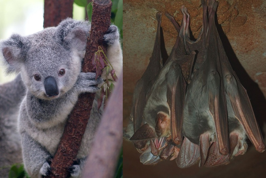 Baby koala vs a bunch of ghost bats (Photos by Erik Veland and Mark Marathon respectively, via Wikimedia Commons)