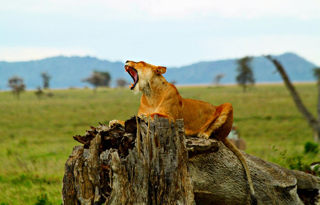 Lioness in the Ngorongoro Crater (Photo by SajjadF, via Wikimedia Commons)