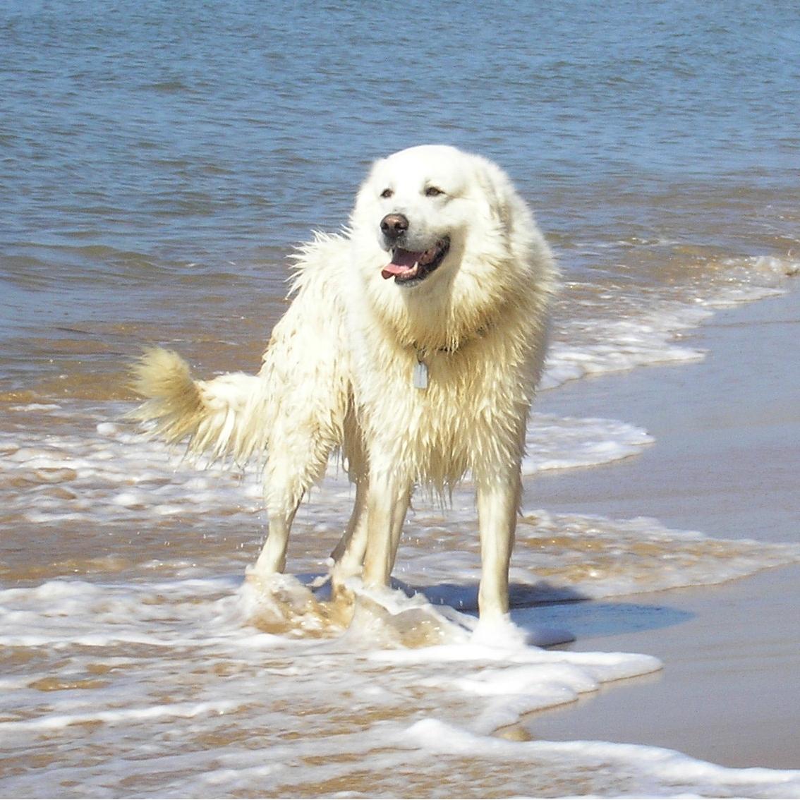 Maremma dogs help guard wildlife