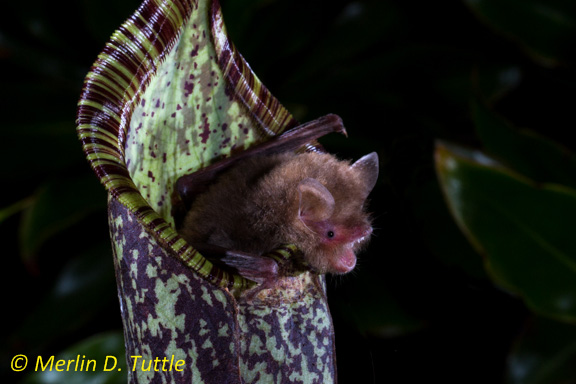 A pitcher plant, Nepenthes hemsleyana, with a bat roosting inside it (Photo from Merlin Tuttle's Bat Conservation)