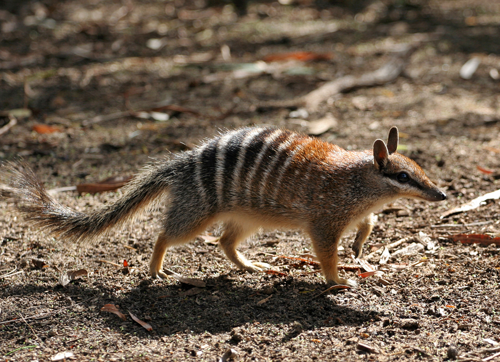The numbat is one of thousands of Australian animals found nowhere else in the world