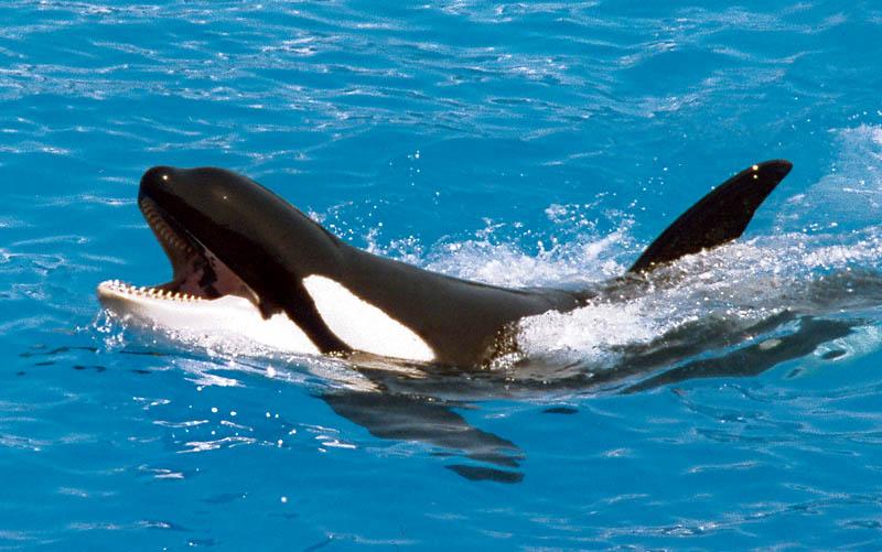 Orca talker
