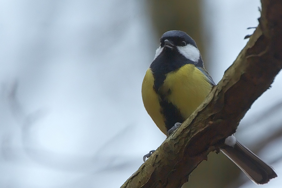 A Great Tit (Parus major) trying to sing at the right pitch (Photo by Stefan Berndtsson, via Flickr)