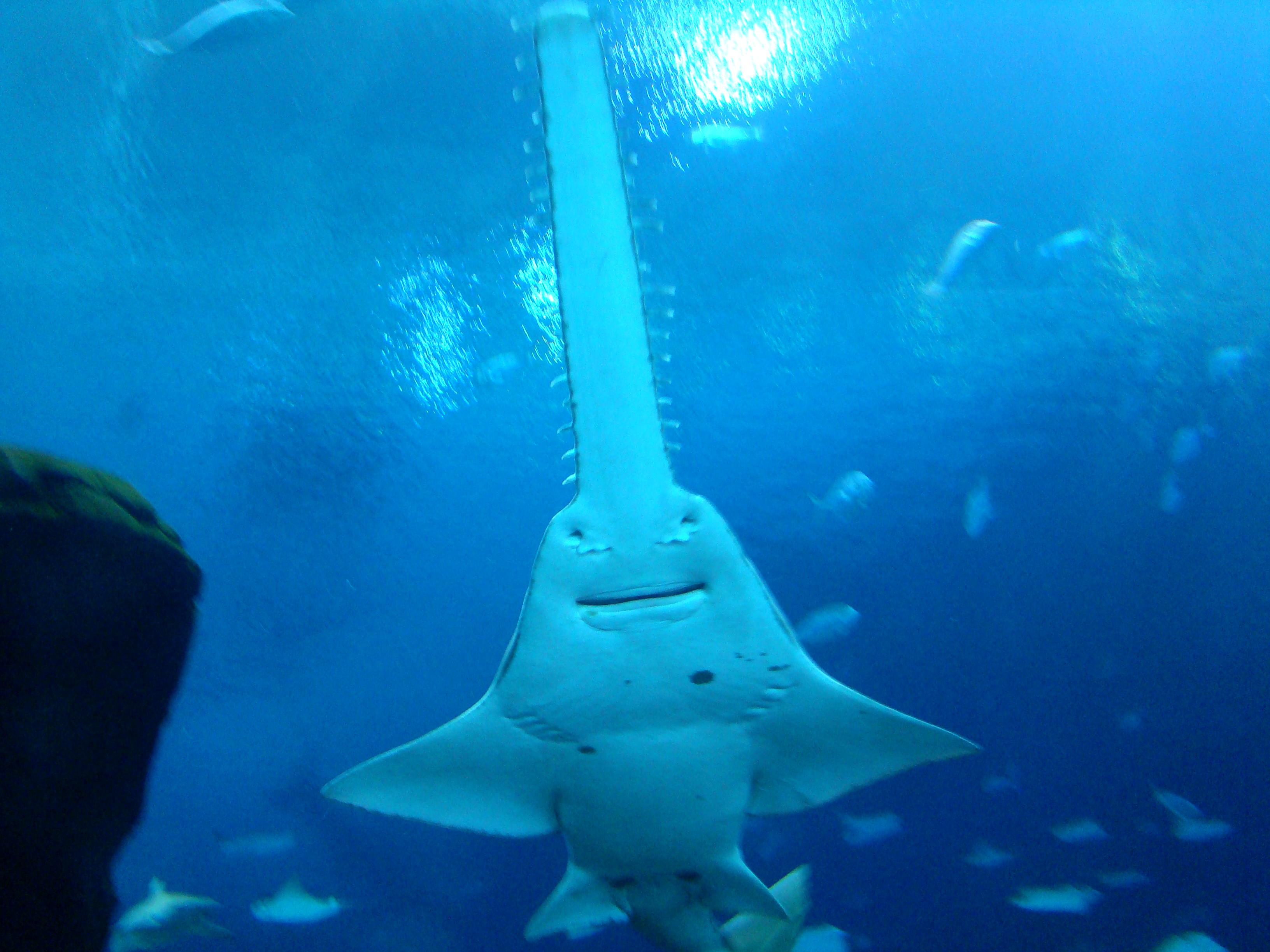 Happy single sawfish