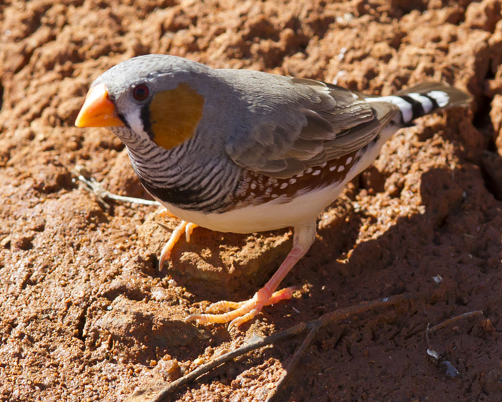 A male Zebra Finch in Karratha, WA (Photo by Jim Bendon, uploaded to Wikimedia Commons by snowmanradio)