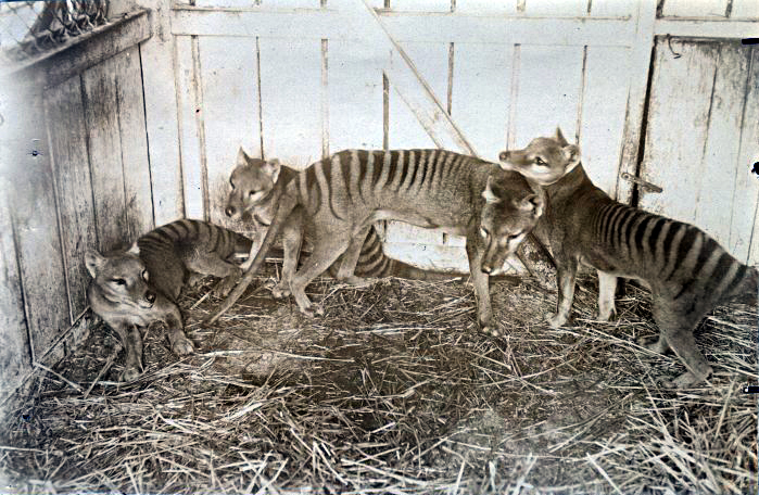 There are no happy pictures of Thylacines... Here are some at the Beaumaris Zoo in Hobart, ca 1910 (via Wikimedia Commons)