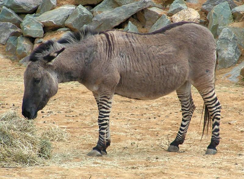 A donkey zebra hybrid
