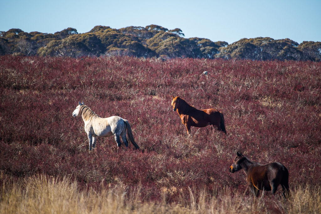 Wild Brumbies may threaten world heritage environments