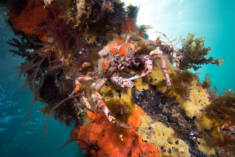 Crab under jetty in Port Phillip Bay