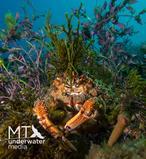Spider crab Matt Testoni
