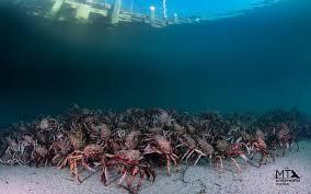 spider crabs by matt testoni