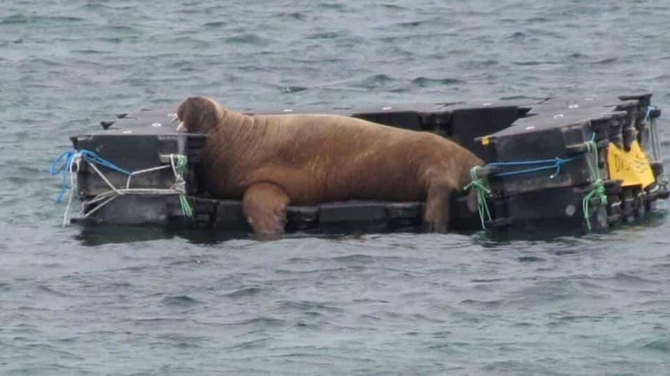 A photo of Wally the walrus relaxing on a couch in the ocean