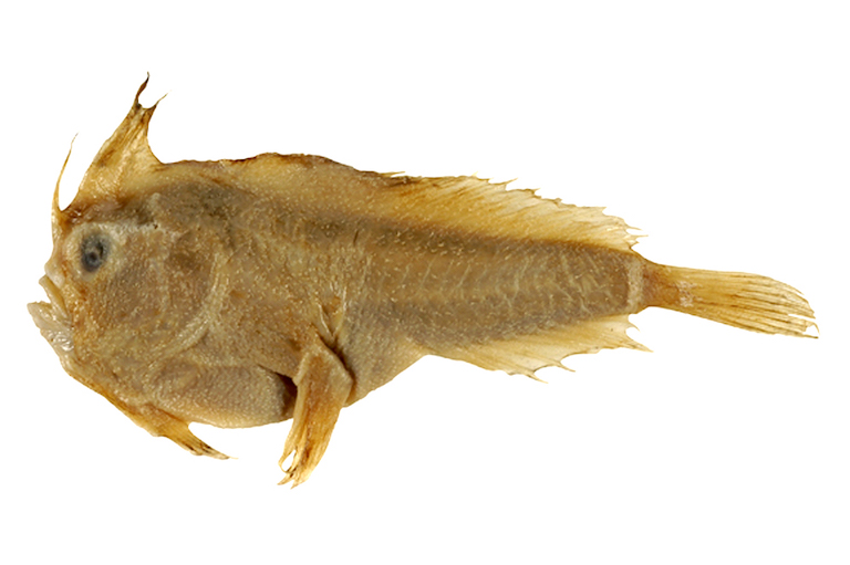 Holotype of the Smooth Handfish