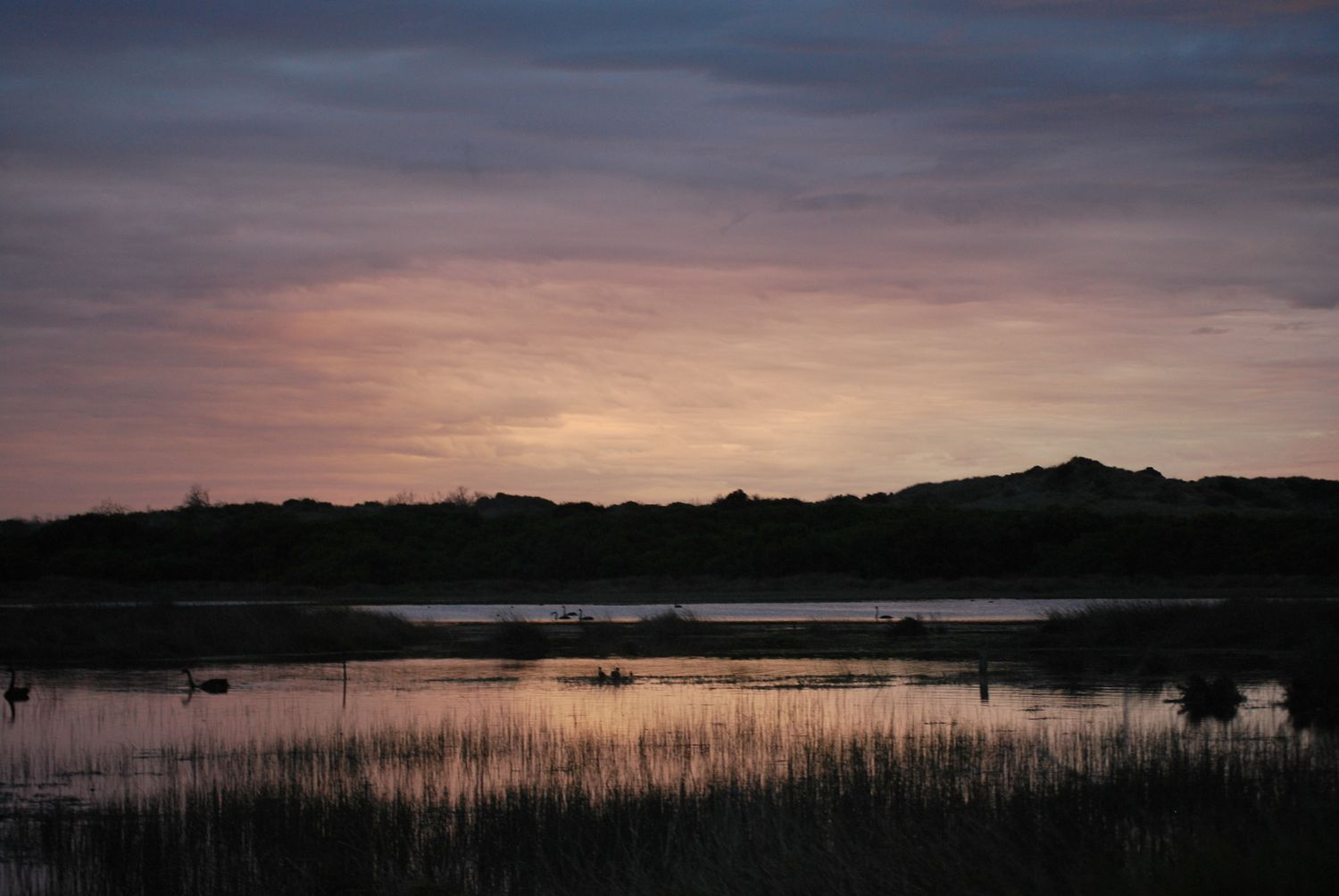 A photograph of Belfast Coastal Reserve at sunset. There is a wetland with lots of reeds and swans. In the background there are hills.