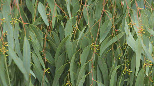 a mass of beautiful green eucalyptus leaves with delicate red stems