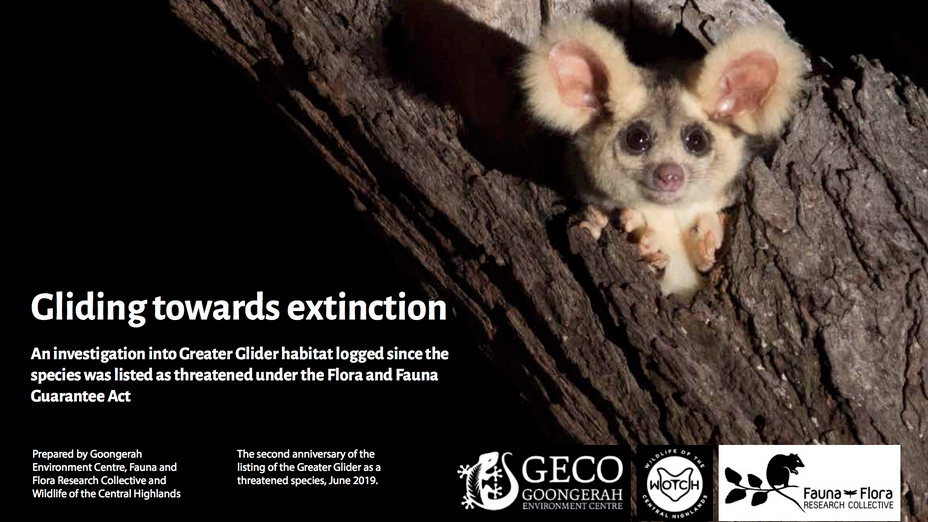 Geco e-flyer depicting an adorable greater glider (maybe a young one) peeking out of an old hollow rainforest tree. It is night. and the bottom of the flyer is contact details and information for the GECO campaign to protect them from extinction. For more info go to geco.org.au