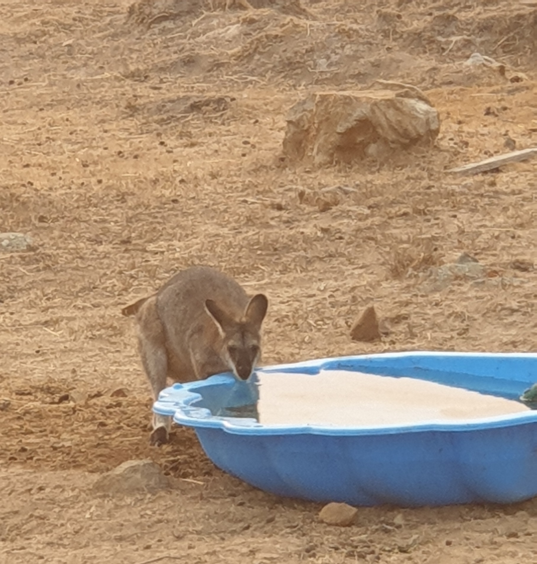 Wallaby drinking from a bowl.