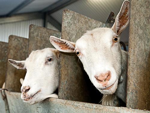 Holy Goat goats