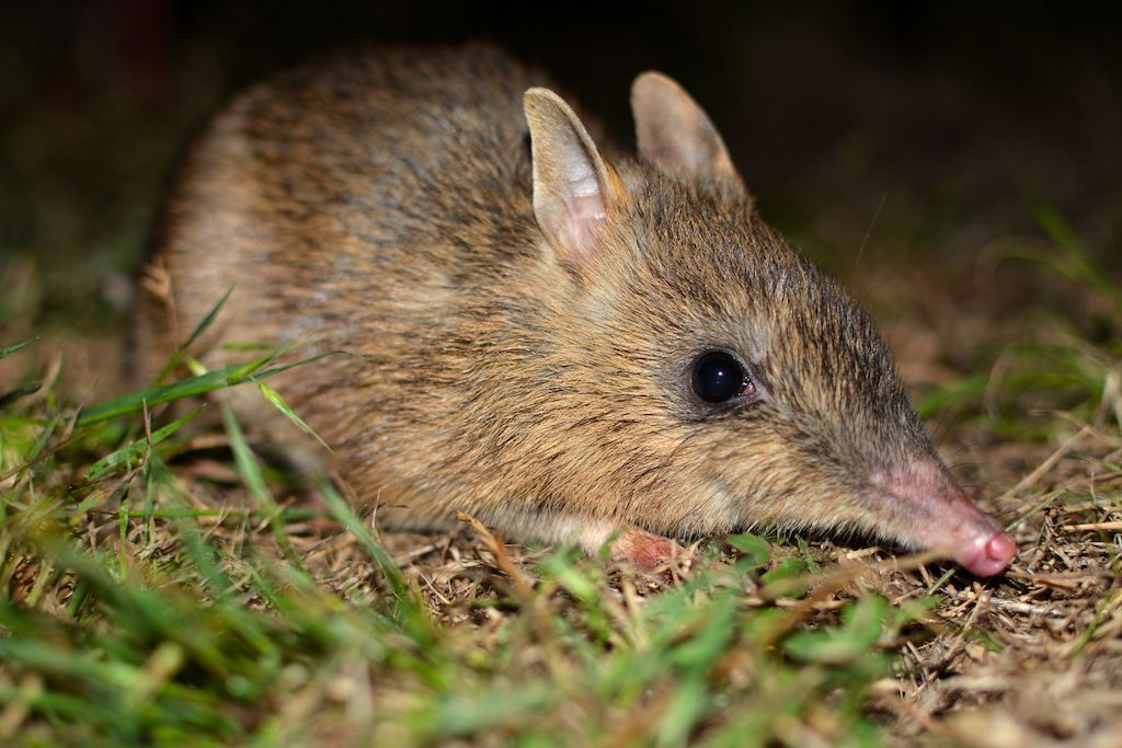 Eastern barred bandicoot, photo by Grant Linley