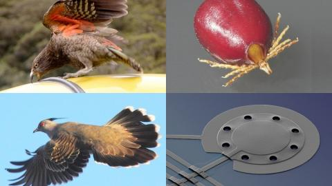Clockwise from top left: NZ bird of the year, the Kea (Nestor notabilis) attacking a car (photo by Andrea Schaffer); a female paralysis tick (Ixodes holocyclus) engorged with blood (photo by Alan R Walker); the microscopic aluminium drum cooled with lasers (image by Teufel/NIST); a Crested Pigeon (Ocyphaps lophotes) showing the special thin feather that makes a whistling noise when it flies (photo by Murray et al./ANU).