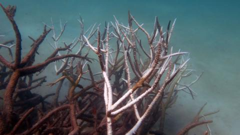 Dead and dying staghorn coral, central Great Barrier Reef in May 2016. Credit: Johanna Leonhardt