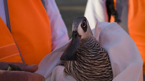 rescued pink-eared duck image