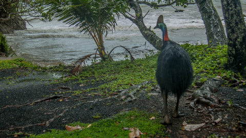 A large bird, the cassowary.