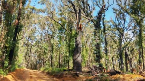 Regenerating, burnt forest near,    South Coast NSW near Ulladulla.