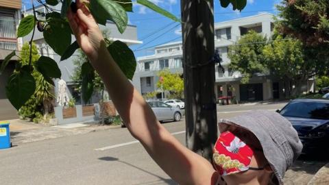 Mulberries on the nature strip-foraging during Covid: Photo supplied by Alexandra Crosby