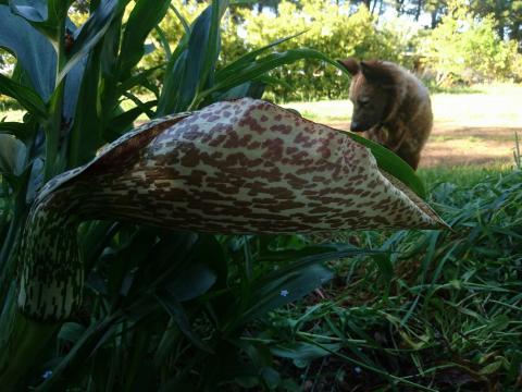 Longinomus Plants