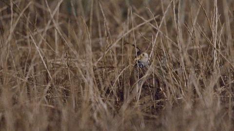 Plains Wanderer camouflaged in grasses