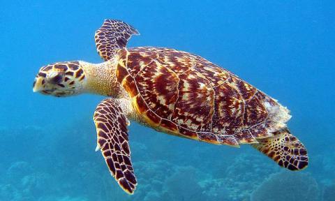 Hawkesbill turtle swimming the ocean.
