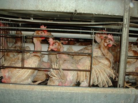 Factory-farmed hens