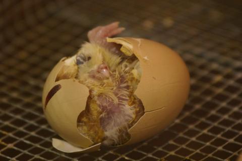 Chick hatching